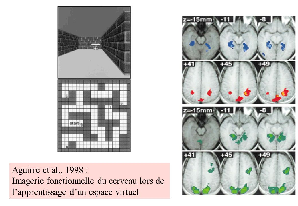 Aguirre et al., 1998 : Imagerie fonctionnelle du cerveau lors de lapprentissage dun espace virtuel