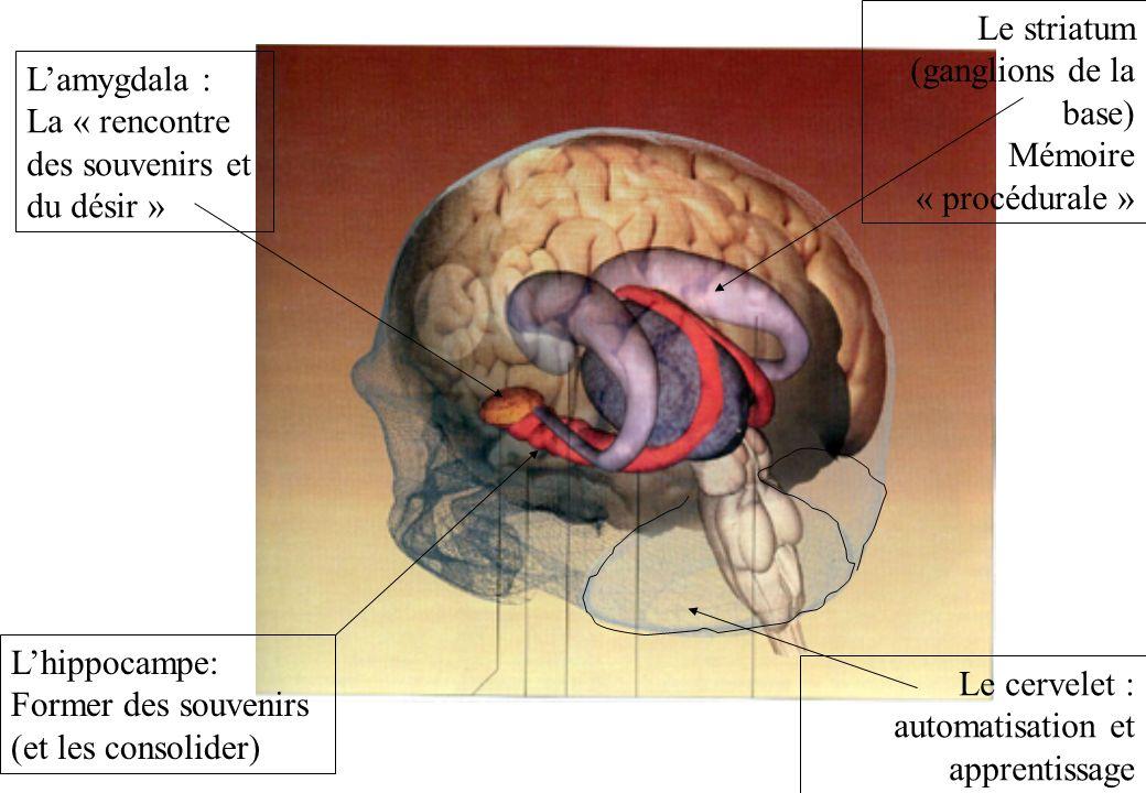 Lhippocampe: Former des souvenirs (et les consolider) Lamygdala : La « rencontre des souvenirs et du désir » Le striatum (ganglions de la base) Mémoir