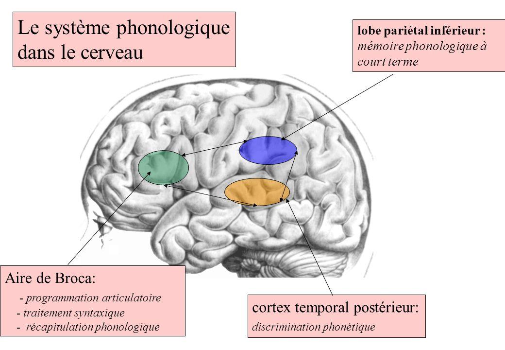 Le système phonologique dans le cerveau lobe pariétal inférieur : mémoire phonologique à court terme cortex temporal postérieur: discrimination phonét