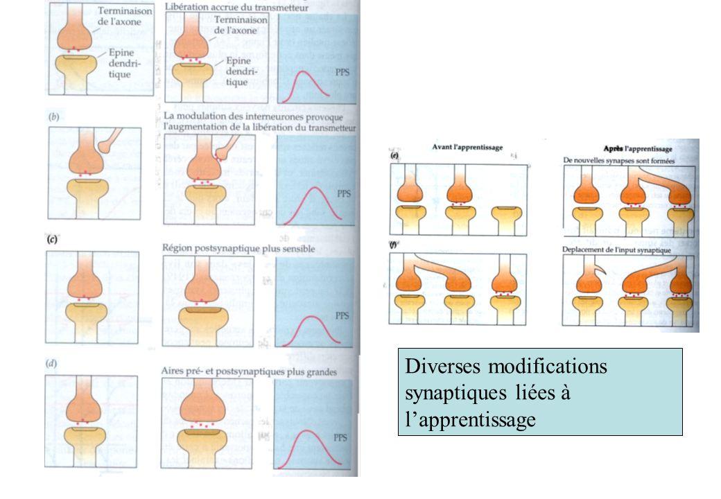 Diverses modifications synaptiques liées à lapprentissage