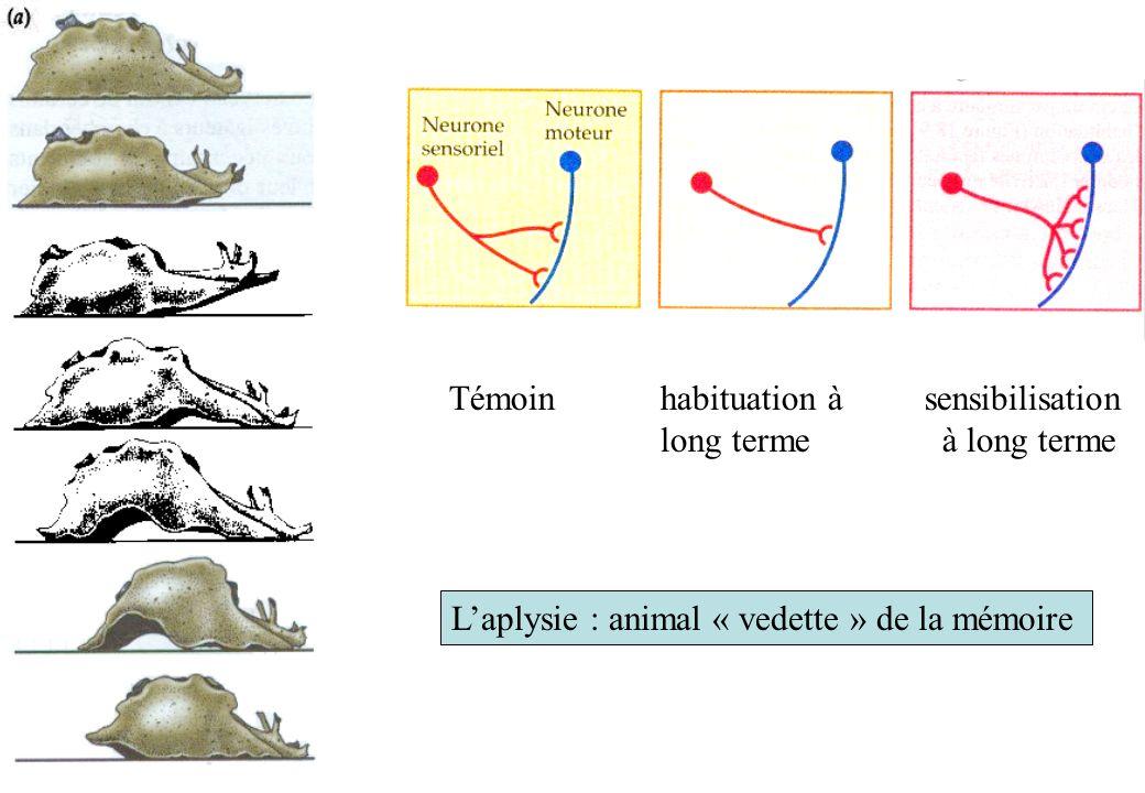 Laplysie : animal « vedette » de la mémoire Témoinhabituation à sensibilisation long terme à long terme