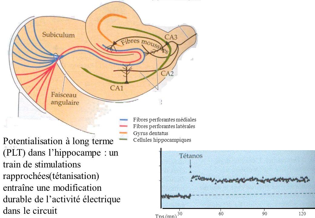 Fibres perforantes médiales Fibres perforantes latérales Gyrus dentatus Cellules hippocampiques Potentialisation à long terme (PLT) dans lhippocampe :