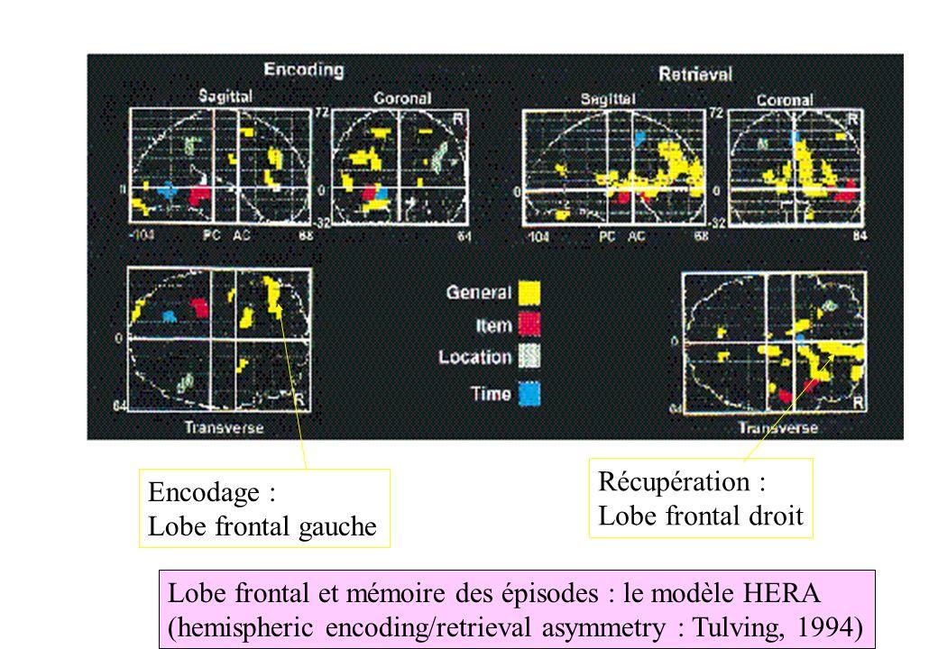 Lobe frontal et mémoire des épisodes : le modèle HERA (hemispheric encoding/retrieval asymmetry : Tulving, 1994) Encodage : Lobe frontal gauche Récupé