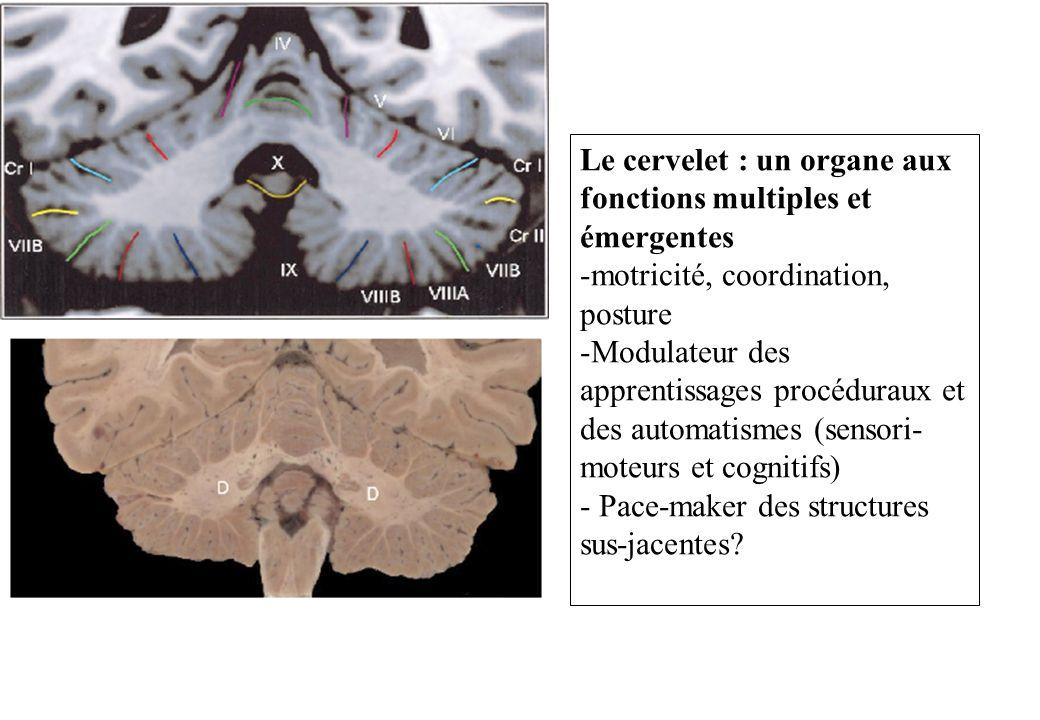 Le cervelet : un organe aux fonctions multiples et émergentes -motricité, coordination, posture -Modulateur des apprentissages procéduraux et des auto
