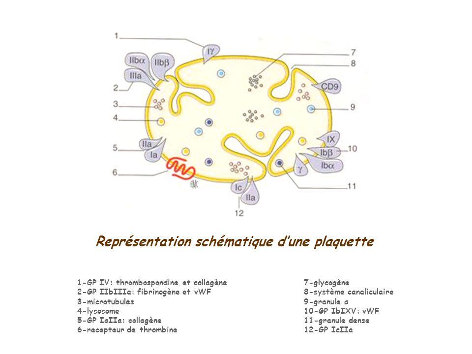 Représentation schématique dune plaquette 7-glycogène 8-système canaliculaire 9-granule α 10-GP IbIXV: vWF 11-granule dense 12-GP IcIIa 1-GP IV: throm