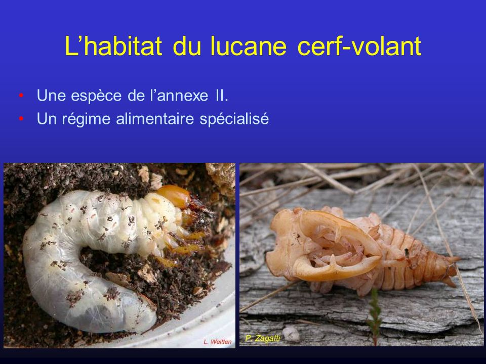 Les espèces patrimoniales Parmi les milliers d espèces d insectes vivant en France, quelques dizaines sont considérées comme représentatives du patrimoine naturel du pays : Espèces protégées Espèces de lannexe 2 de la Directive Habitat Espèces déterminantes Bio-indicateurs Espèces menacées (listes rouges) Espèces endémiques...