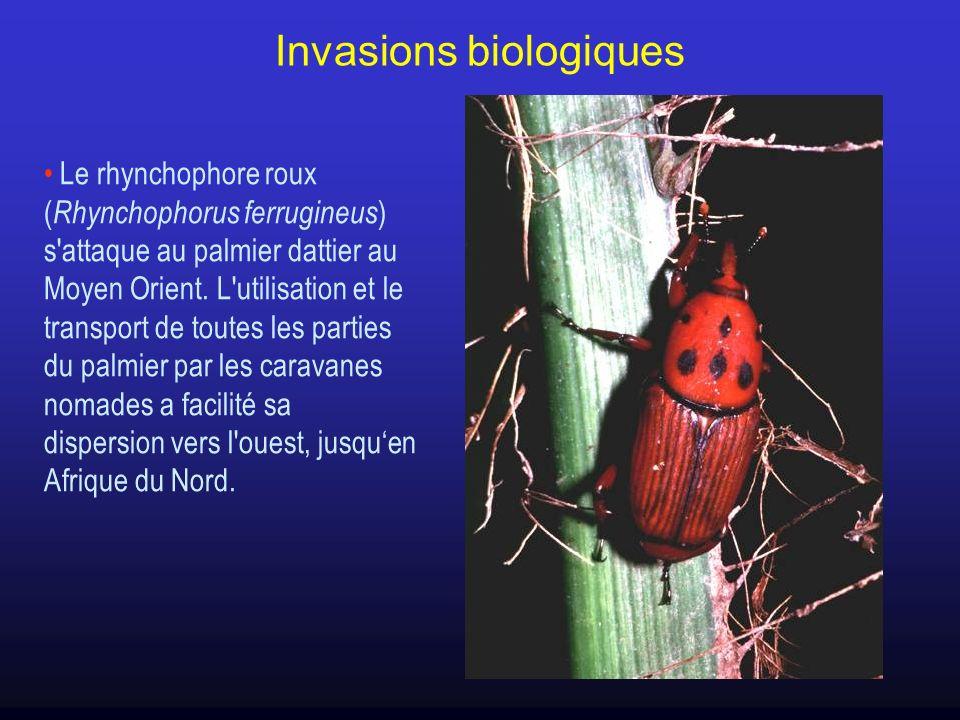 Le rhynchophore roux ( Rhynchophorus ferrugineus ) s'attaque au palmier dattier au Moyen Orient. L'utilisation et le transport de toutes les parties d