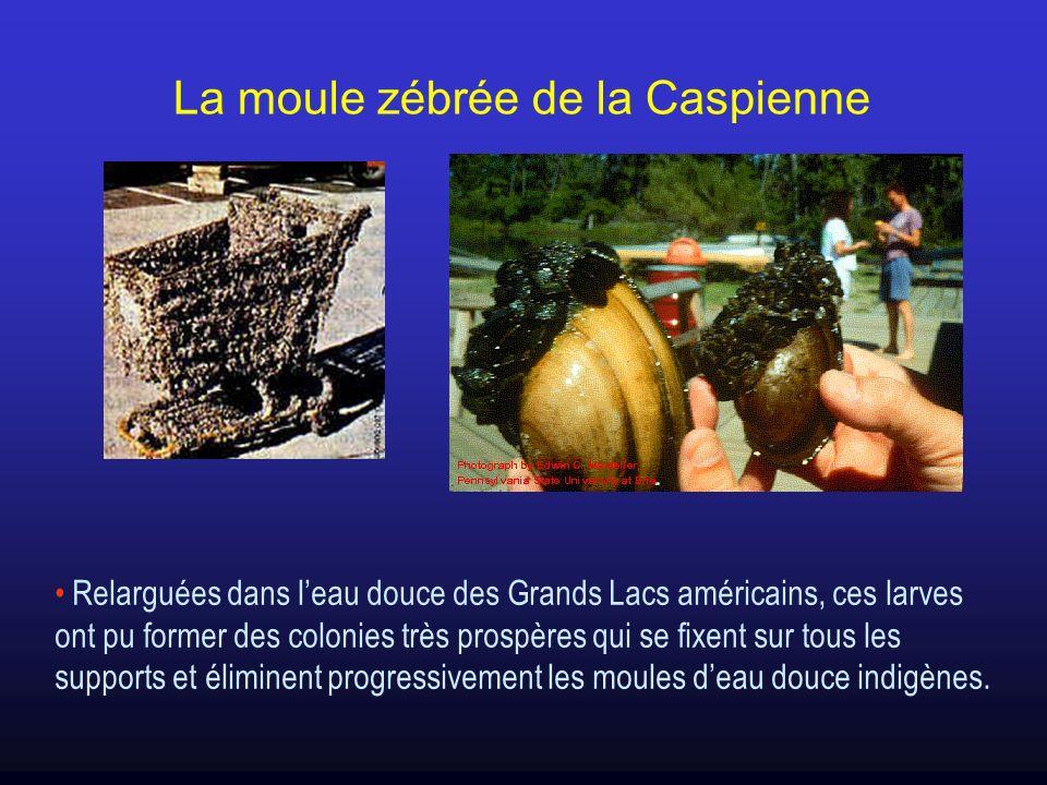 Relarguées dans leau douce des Grands Lacs américains, ces larves ont pu former des colonies très prospères qui se fixent sur tous les supports et éli
