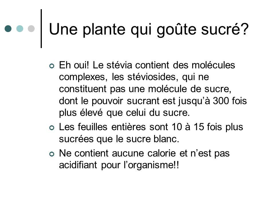 Une plante qui goûte sucré? Eh oui! Le stévia contient des molécules complexes, les stéviosides, qui ne constituent pas une molécule de sucre, dont le