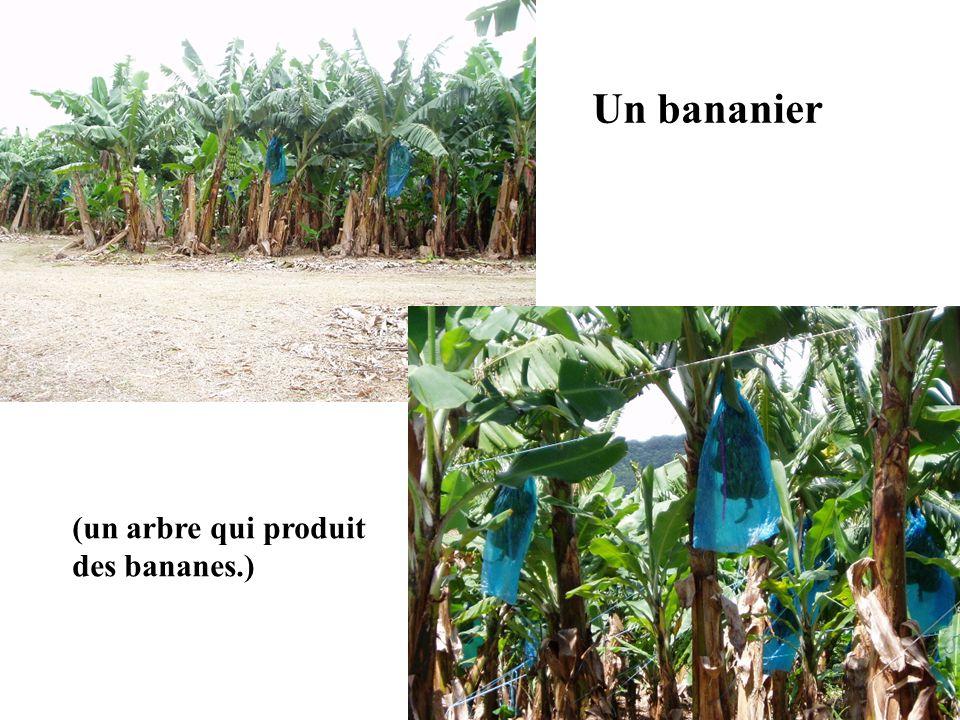 Un bananier (un arbre qui produit des bananes.)