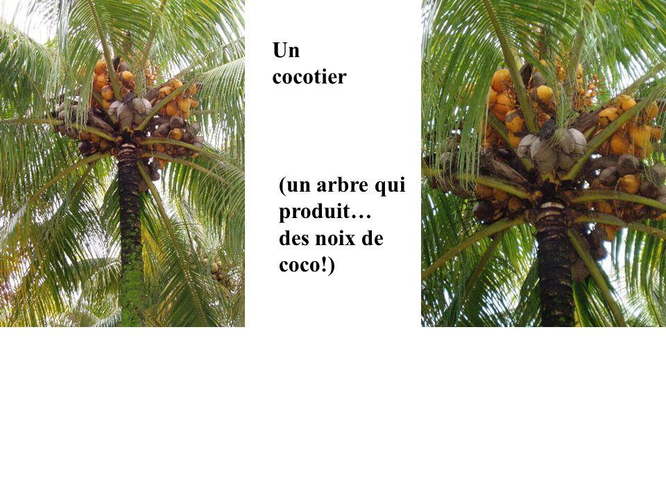 Un cocotier (un arbre qui produit… des noix de coco!)