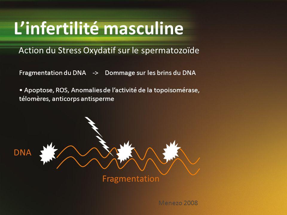 Action du Stress Oxydatif sur le spermatozoïde Linfertilité masculine Fragmentation du DNA -> Dommage sur les brins du DNA Apoptose, ROS, Anomalies de