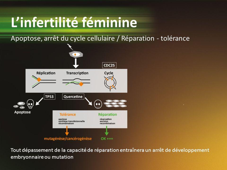 Apoptose, arrêt du cycle cellulaire / Réparation - tolérance Tout dépassement de la capacité de réparation entraînera un arrêt de développement embryo