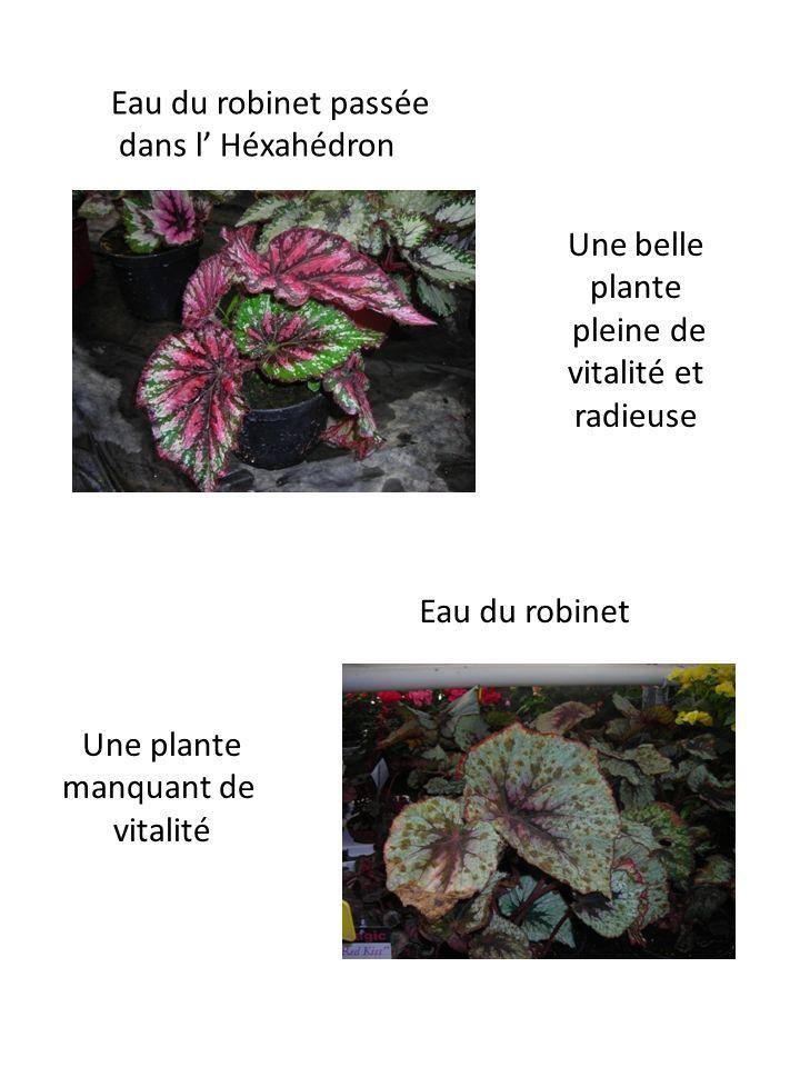 Eau du robinet passée dans l Héxahédron Eau du robinet Une belle plante pleine de vitalité et radieuse Une plante manquant de vitalité