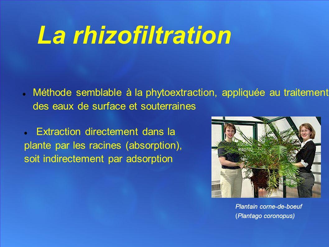 La rhizofiltration Méthode semblable à la phytoextraction, appliquée au traitement des eaux de surface et souterraines Plantain corne-de-boeuf (Plantago coronopus) Extraction directement dans la plante par les racines (absorption), soit indirectement par adsorption