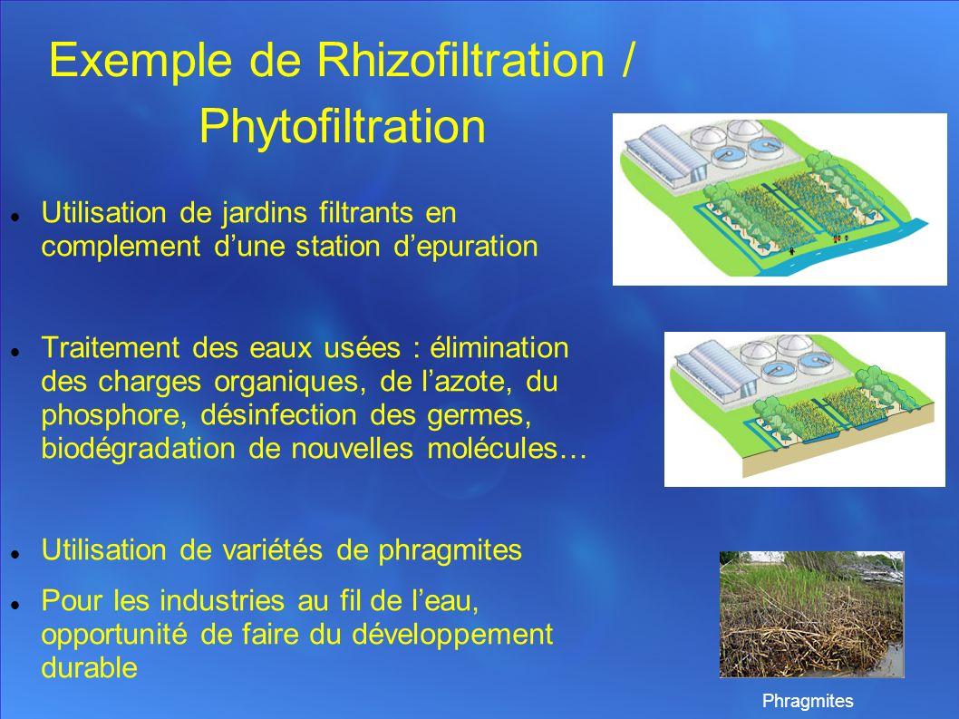 Exemple de Rhizofiltration / Phytofiltration Utilisation de jardins filtrants en complement dune station depuration Traitement des eaux usées : élimination des charges organiques, de lazote, du phosphore, désinfection des germes, biodégradation de nouvelles molécules… Utilisation de variétés de phragmites Pour les industries au fil de leau, opportunité de faire du développement durable Phragmites