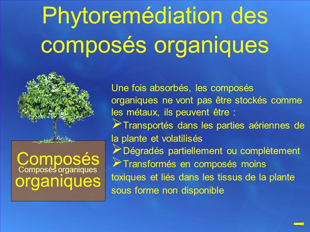 Phytoremédiation des composés organiques Composés organiques Une fois absorbés, les composés organiques ne vont pas être stockés comme les métaux, ils peuvent être : Transportés dans les parties aériennes de la plante et volatilisés Dégradés partiellement ou complètement Transformés en composés moins toxiques et liés dans les tissus de la plante sous forme non disponible