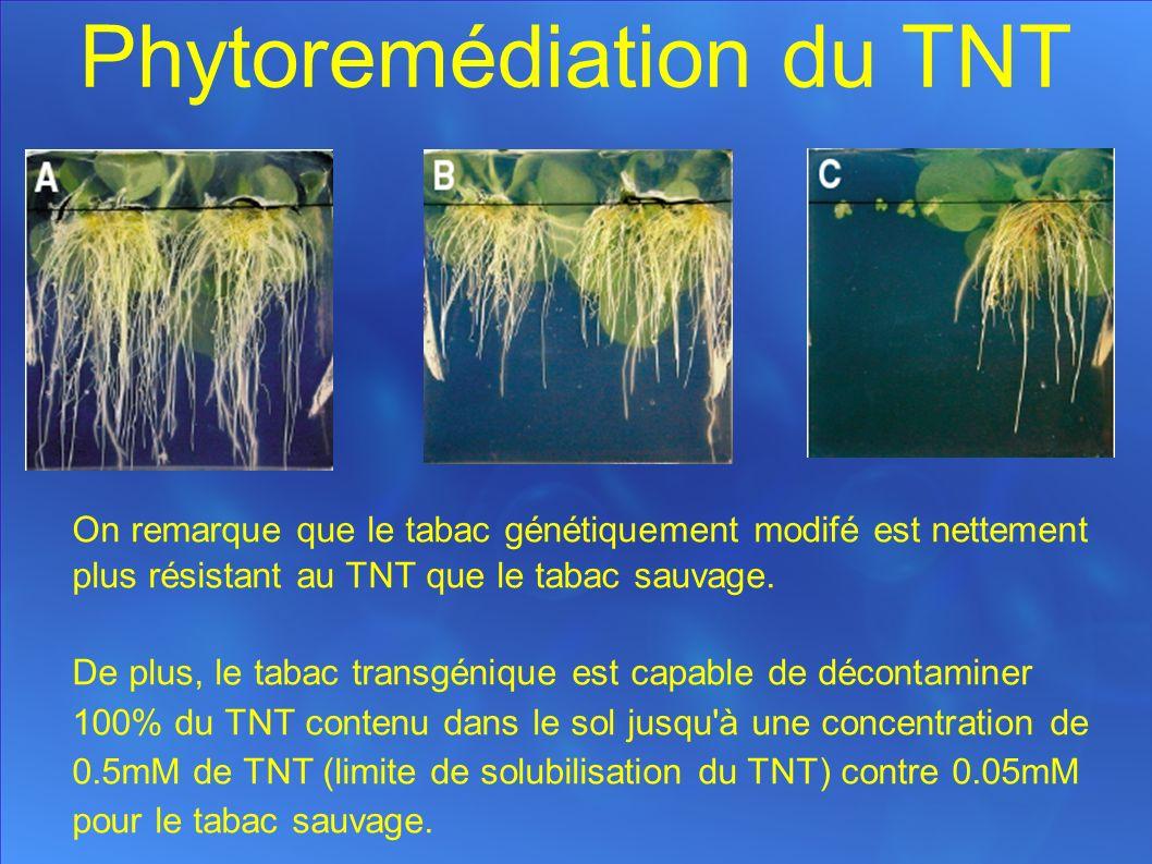 Phytoremédiation du TNT On remarque que le tabac génétiquement modifé est nettement plus résistant au TNT que le tabac sauvage.