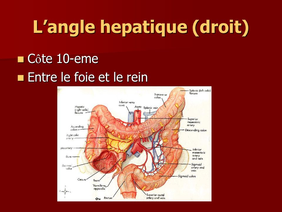 Langle hepatique (droit) C ô te 10-eme C ô te 10-eme Entre le foie et le rein Entre le foie et le rein