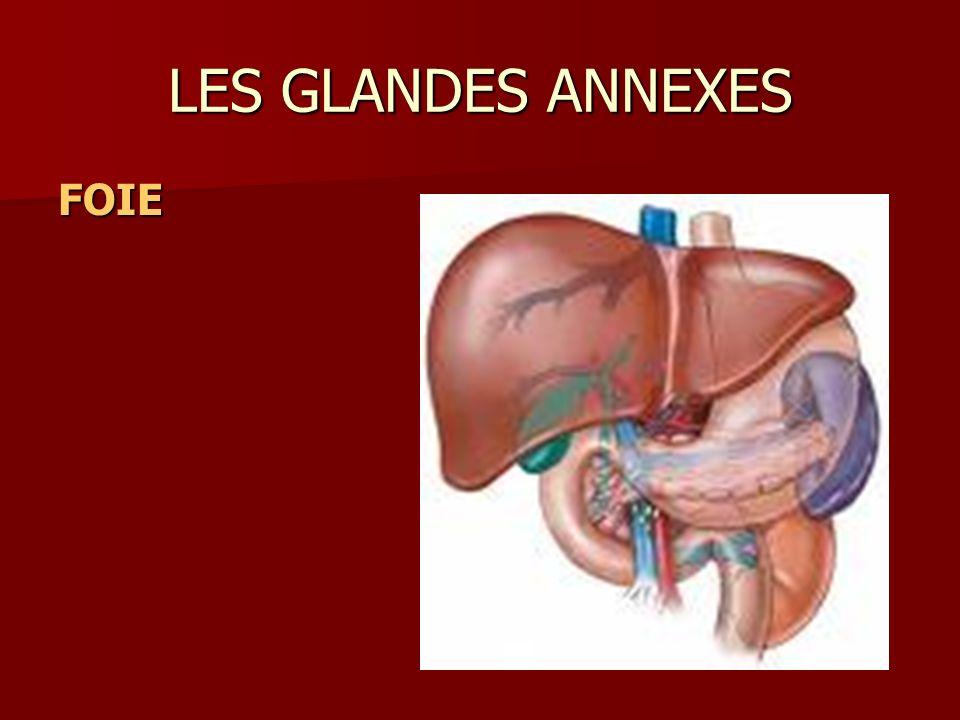 LES GLANDES ANNEXES FOIEFOIEFOIEFOIE