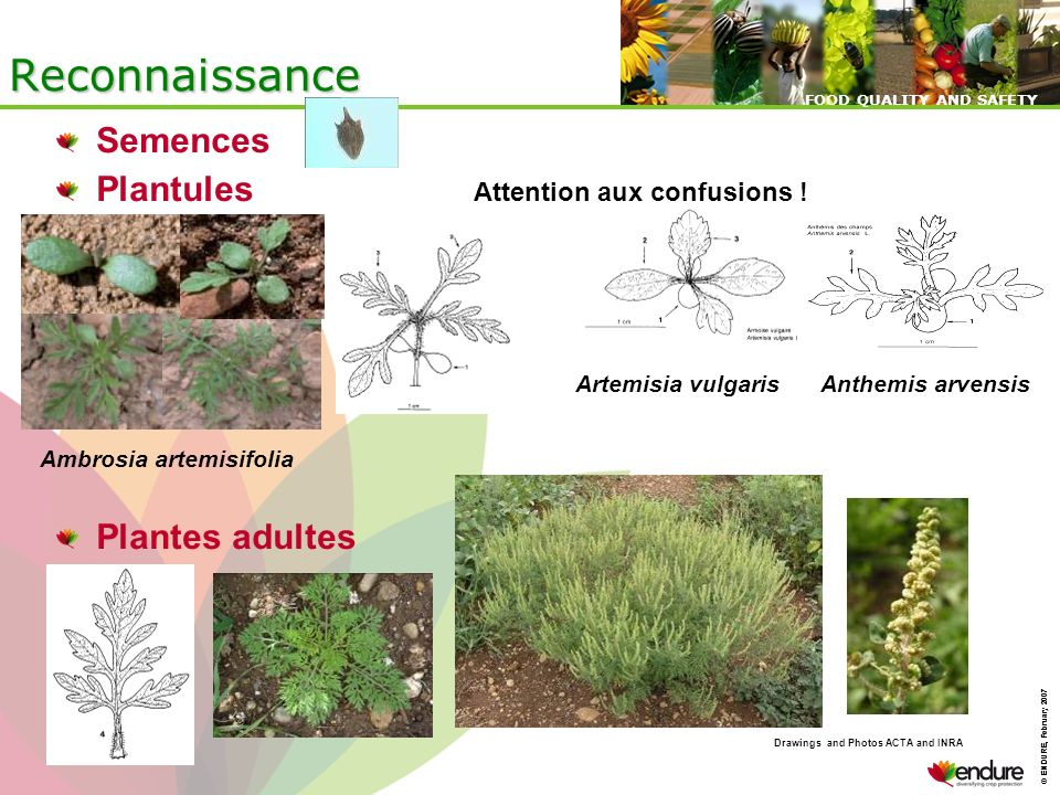 © ENDURE, February 2007 FOOD QUALITY AND SAFETY © ENDURE, February 2007 FOOD QUALITY AND SAFETY Semences Plantules Attention aux confusions ! Plantes