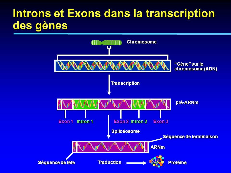 Gène sur le chromosome (ADN) Chromosome ARNm pré-ARNm Protéine Transcription Traduction Séquence de tête Intron 1 Exon 3 Exon 2 Exon 1 Intron 2 Splicé