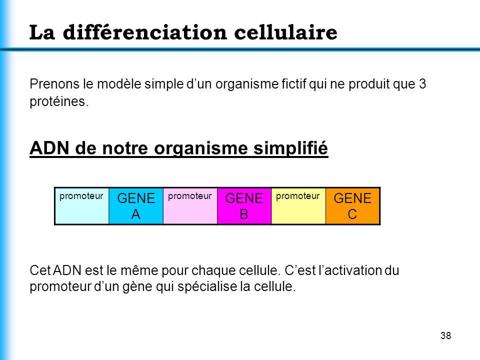 38 La différenciation cellulaire Prenons le modèle simple dun organisme fictif qui ne produit que 3 protéines. ADN de notre organisme simplifié promot
