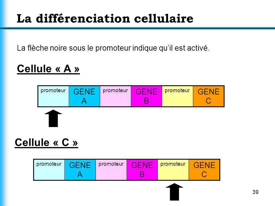39 La différenciation cellulaire La flèche noire sous le promoteur indique quil est activé. Cellule « A » promoteur GENE A promoteur GENE B promoteur