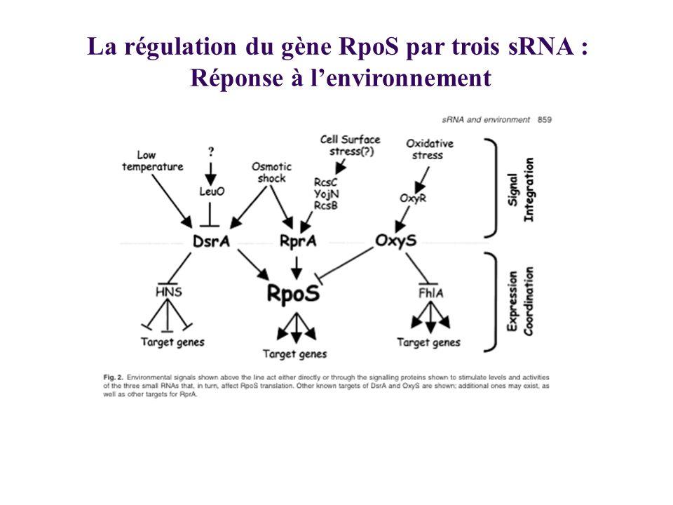 La régulation du gène RpoS par trois sRNA : Réponse à lenvironnement