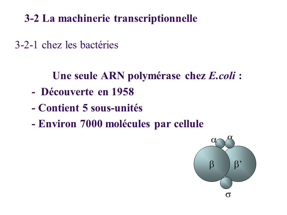 3-2-1 chez les bactéries Une seule ARN polymérase chez E.coli : - Découverte en 1958 - Contient 5 sous-unités - Environ 7000 molécules par cellule 3-2