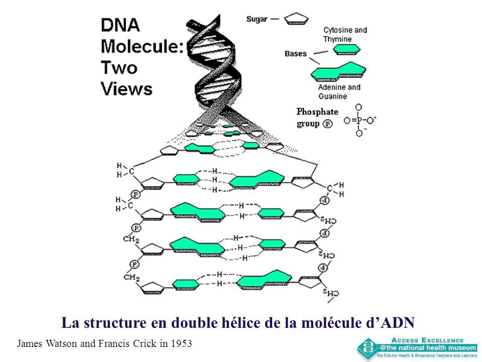 La structure en double hélice de la molécule dADN James Watson and Francis Crick in 1953