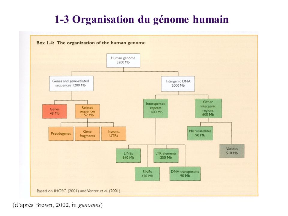 1-3 Organisation du génome humain (daprès Brown, 2002, in genomes)