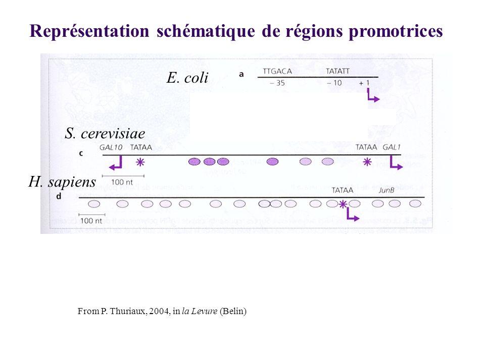 E. coli S. cerevisiae H. sapiens Représentation schématique de régions promotrices From P. Thuriaux, 2004, in la Levure (Belin)