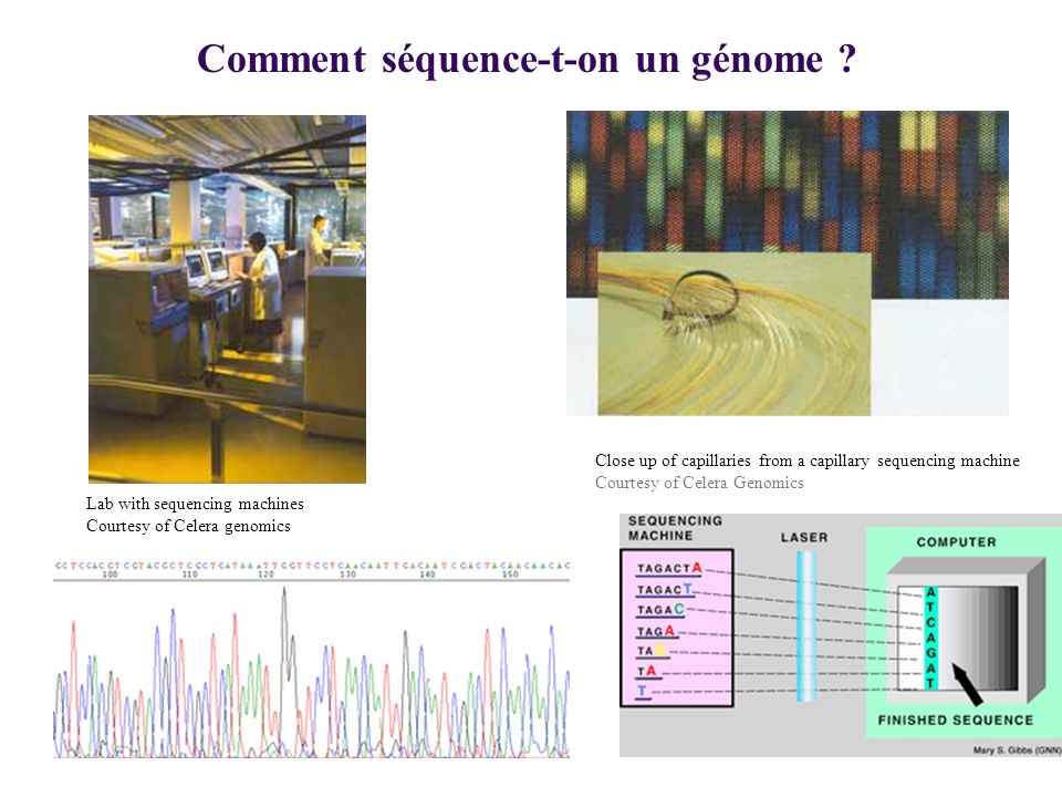 1-1 Contenu de fragments chromosomiques de quelques espèces Daprès Brown, 2002 in Genomes Intron Human pseudo-gene t tRNA Exon or gene Genome wide repeats