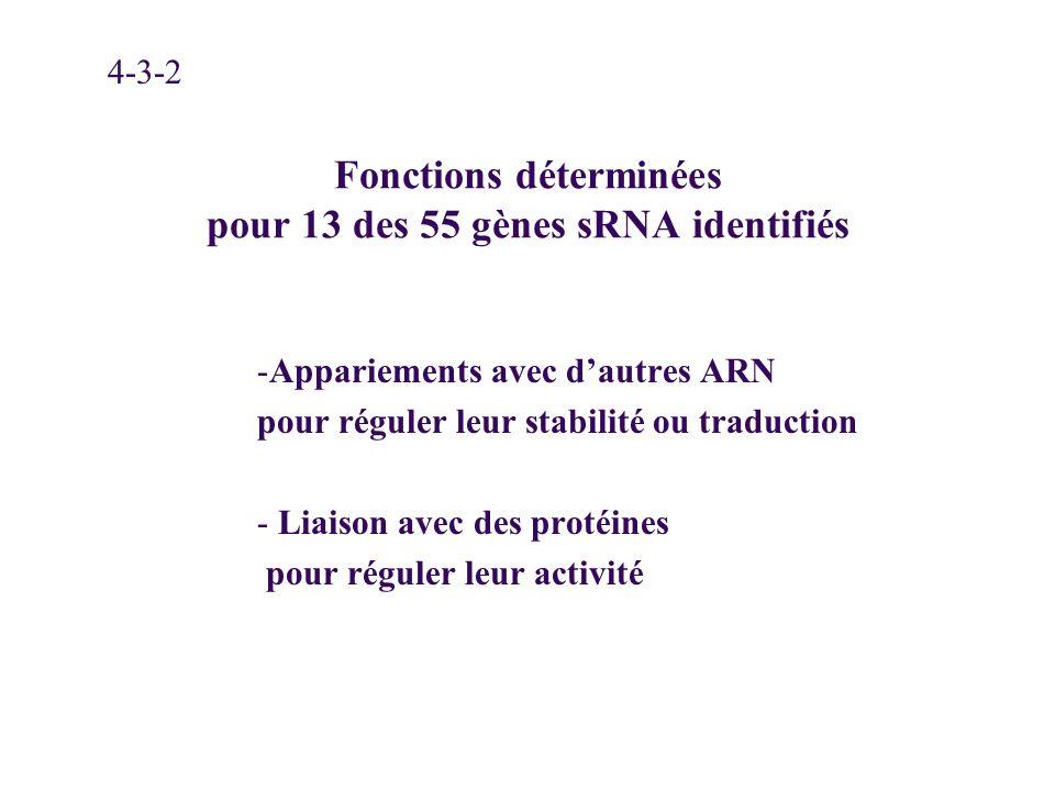 Fonctions déterminées pour 13 des 55 gènes sRNA identifiés -Appariements avec dautres ARN pour réguler leur stabilité ou traduction - Liaison avec des