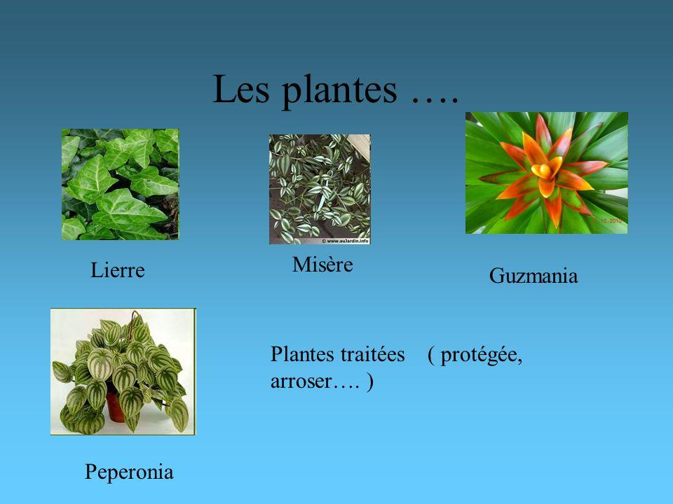 Les plantes …. Lierre Misère Guzmania Peperonia Plantes traitées ( protégée, arroser…. )