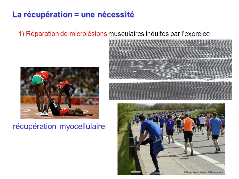 La récupération = une nécessité 1) Réparation de microlésions musculaires induites par lexercice. récupération myocellulaire