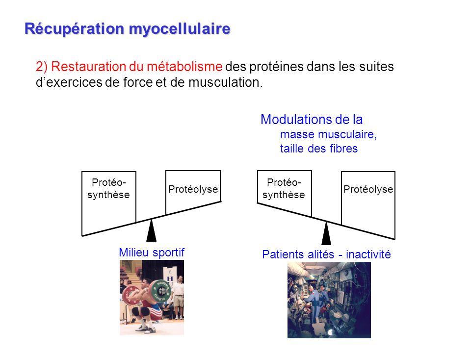 Récupération myocellulaire 2) Restauration du métabolisme des protéines dans les suites dexercices de force et de musculation. Modulations de la masse