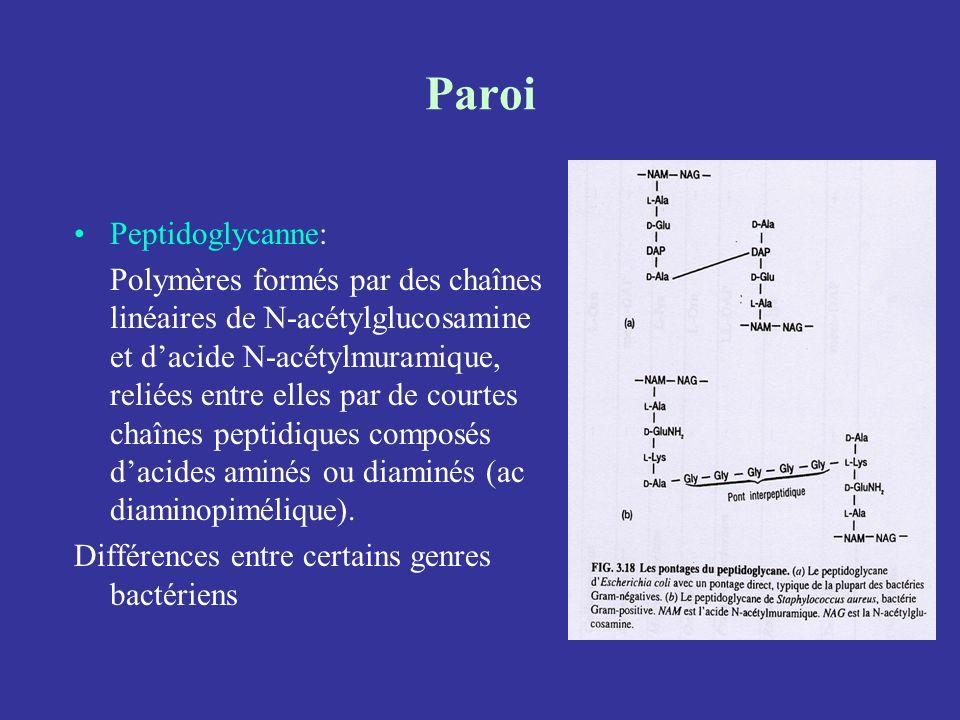Paroi Peptidoglycanne: Polymères formés par des chaînes linéaires de N-acétylglucosamine et dacide N-acétylmuramique, reliées entre elles par de court