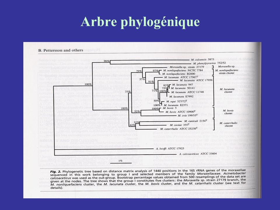 Arbre phylogénique