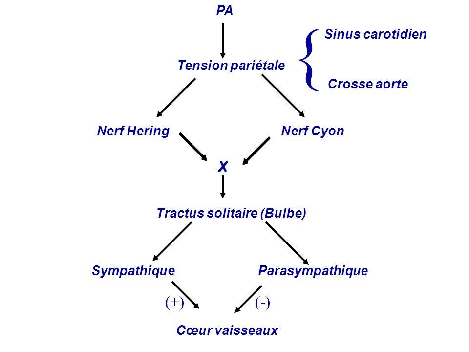 PA Tension pariétale Nerf HeringNerf Cyon Tractus solitaire (Bulbe) SympathiqueParasympathique Cœur vaisseaux Sinus carotidien Crosse aorte X { X (+)(