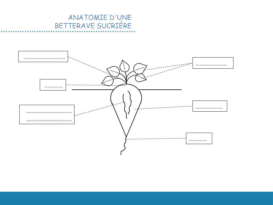 ANATOMIE D UNE BETTERAVE SUCRIÈRE ………………… ……………… ………… ………………………… ……………………… …………
