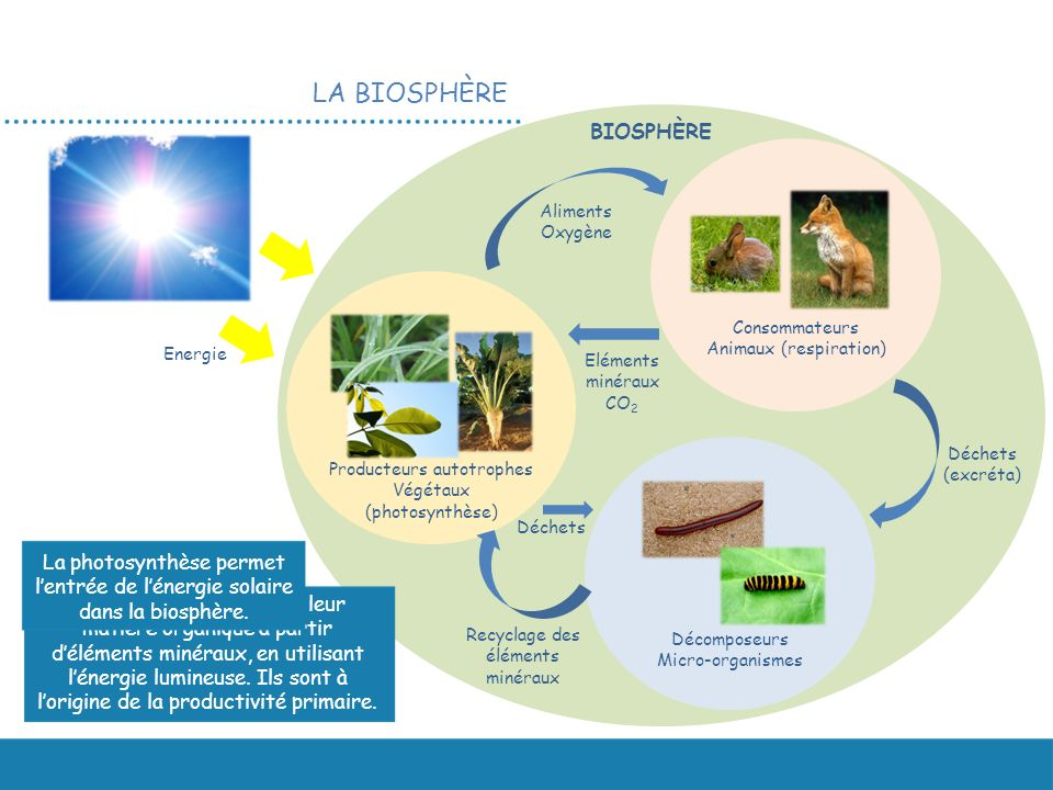 LA BIOSPHÈRE Energie Producteurs autotrophes Végétaux (photosynthèse) Décomposeurs Micro-organismes Consommateurs Animaux (respiration) Eléments minéraux CO 2 Aliments Oxygène Déchets (excréta) Déchets Recyclage des éléments minéraux BIOSPHÈRE Les végétaux fabriquent leur matière organique à partir déléments minéraux, en utilisant lénergie lumineuse.
