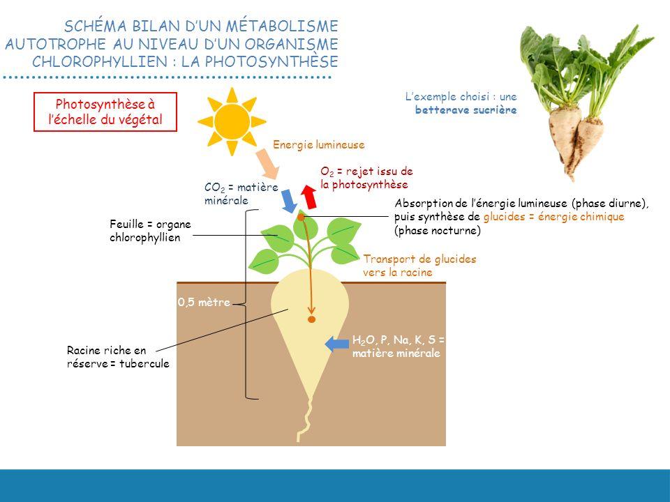 Racine riche en réserve = tubercule Feuille = organe chlorophyllien 0,5 mètre Photosynthèse à léchelle du végétal Energie lumineuse CO 2 = matière minérale O 2 = rejet issu de la photosynthèse H 2 O, P, Na, K, S = matière minérale Transport de glucides vers la racine Absorption de lénergie lumineuse (phase diurne), puis synthèse de glucides = énergie chimique (phase nocturne) Lexemple choisi : une betterave sucrière SCHÉMA BILAN DUN MÉTABOLISME AUTOTROPHE AU NIVEAU DUN ORGANISME CHLOROPHYLLIEN : LA PHOTOSYNTHÈSE