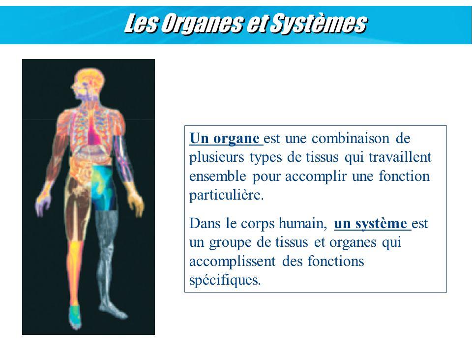 Les Organes et Systèmes Un organe est une combinaison de plusieurs types de tissus qui travaillent ensemble pour accomplir une fonction particulière.
