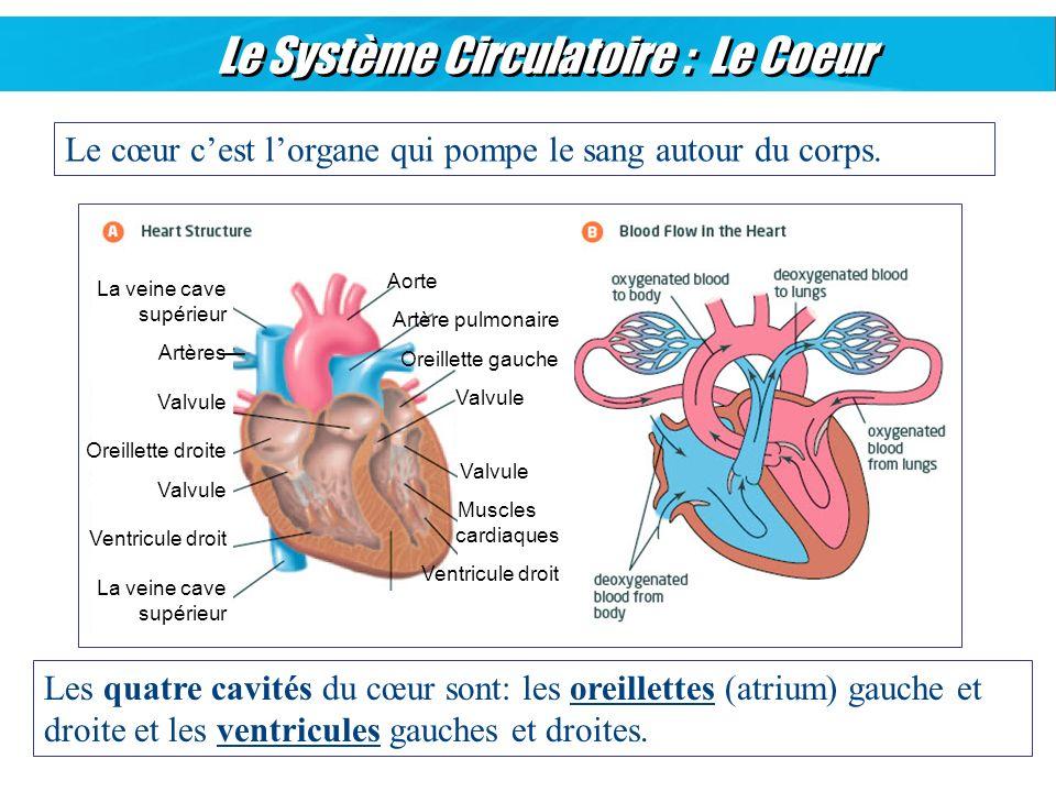 Le Système Circulatoire : Le Coeur Le cœur cest lorgane qui pompe le sang autour du corps. Les quatre cavités du cœur sont: les oreillettes (atrium) g