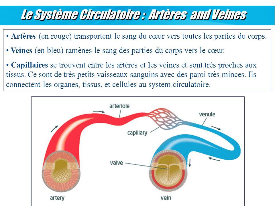 Le Système Circulatoire : Artères and Veines Artères (en rouge) transportent le sang du cœur vers toutes les parties du corps. Veines (en bleu) ramène