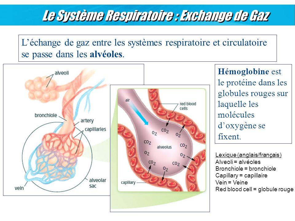 Le Système Respiratoire : Exchange de Gaz Léchange de gaz entre les systèmes respiratoire et circulatoire se passe dans les alvéoles. Hémoglobine est