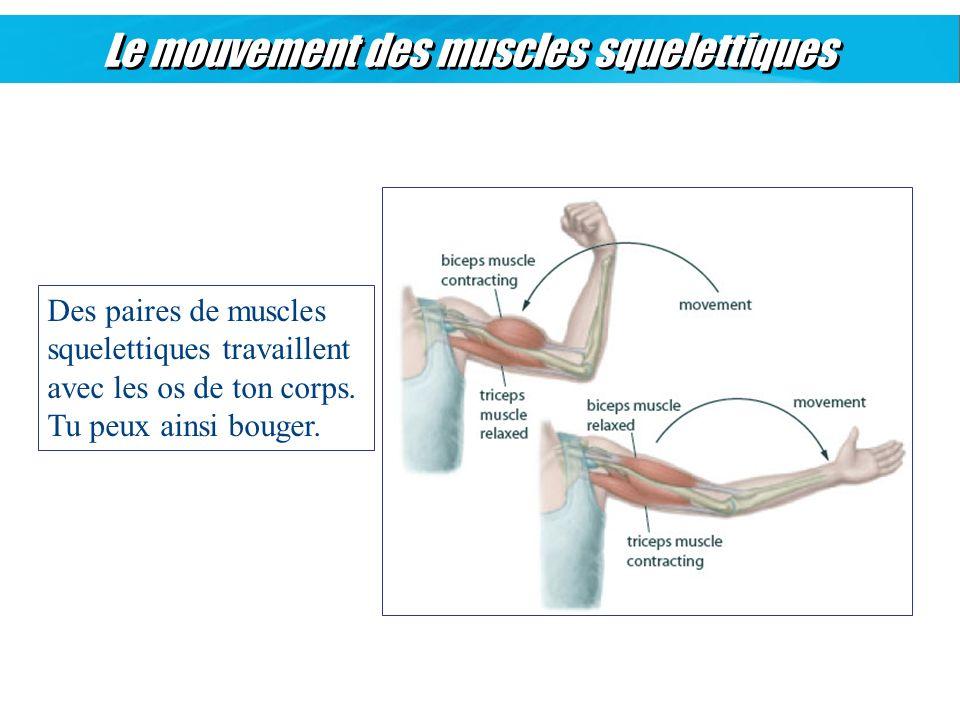 Le mouvement des muscles squelettiques Des paires de muscles squelettiques travaillent avec les os de ton corps. Tu peux ainsi bouger.