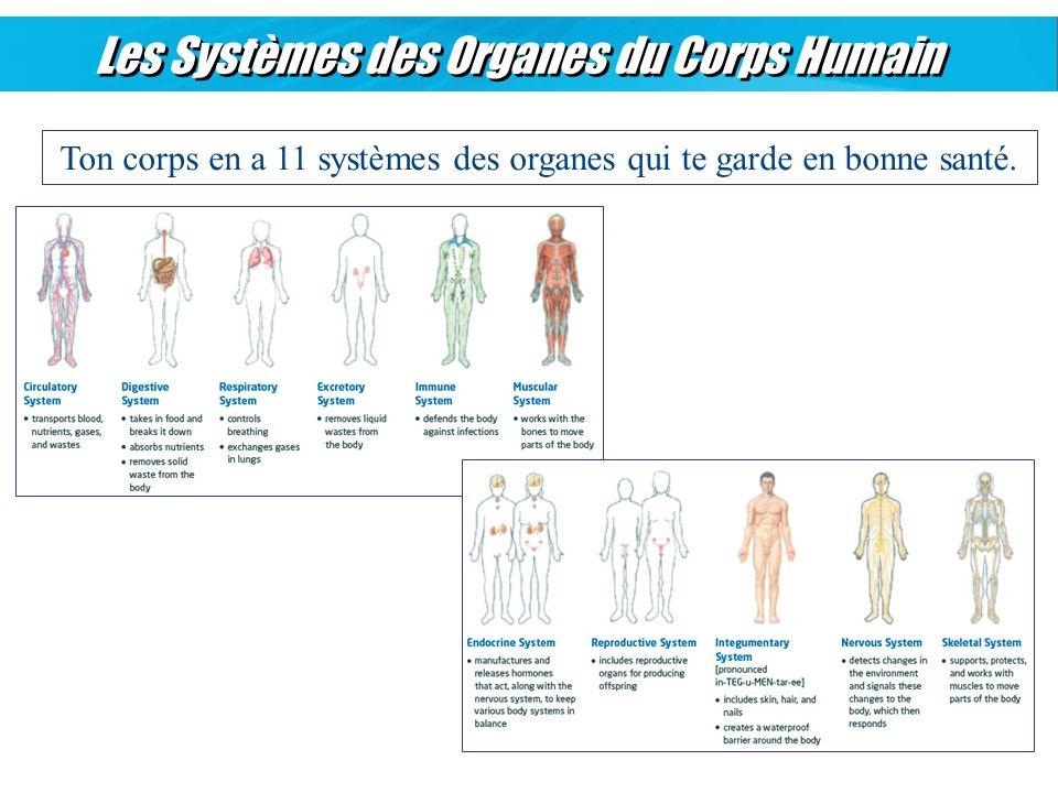 Les Systèmes des Organes du Corps Humain Ton corps en a 11 systèmes des organes qui te garde en bonne santé.